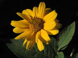 Sonnenauge Bluete gelb Heliopsis helianthoides 13