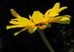 Sonnenauge Bluete gelb Heliopsis helianthoides 15