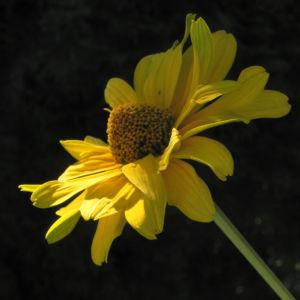 Sonnenauge Bluete gelb Heliopsis helianthoides 16