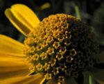 Sonnenauge Bluete gelb Heliopsis helianthoides 21