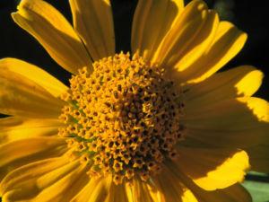 Sonnenauge Bluete gelb Heliopsis helianthoides 23