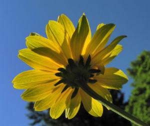 Sonnenauge Bluete gelb Heliopsis helianthoides 25