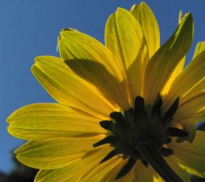 Sonnenauge Bluete gelb Heliopsis helianthoides 26