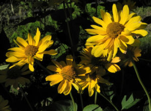 Sonnenauge Bluete gelb Heliopsis helianthoides 29