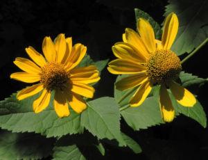 Sonnenauge Bluete gelb Heliopsis helianthoides 30