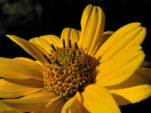 Sonnenauge Bluete gelb Heliopsis helianthoides 31
