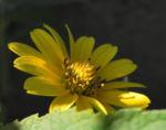 Sonnenauge Bluete gelb Heliopsis helianthoides 33