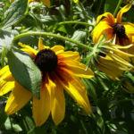 Sonnenauge Heliopsis helianthoides 04
