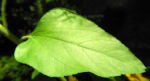 Sonnenblume Blatt gruen Helianthus annuus 02
