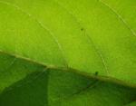 Sonnenblume Blatt gruen Helianthus annuus 31