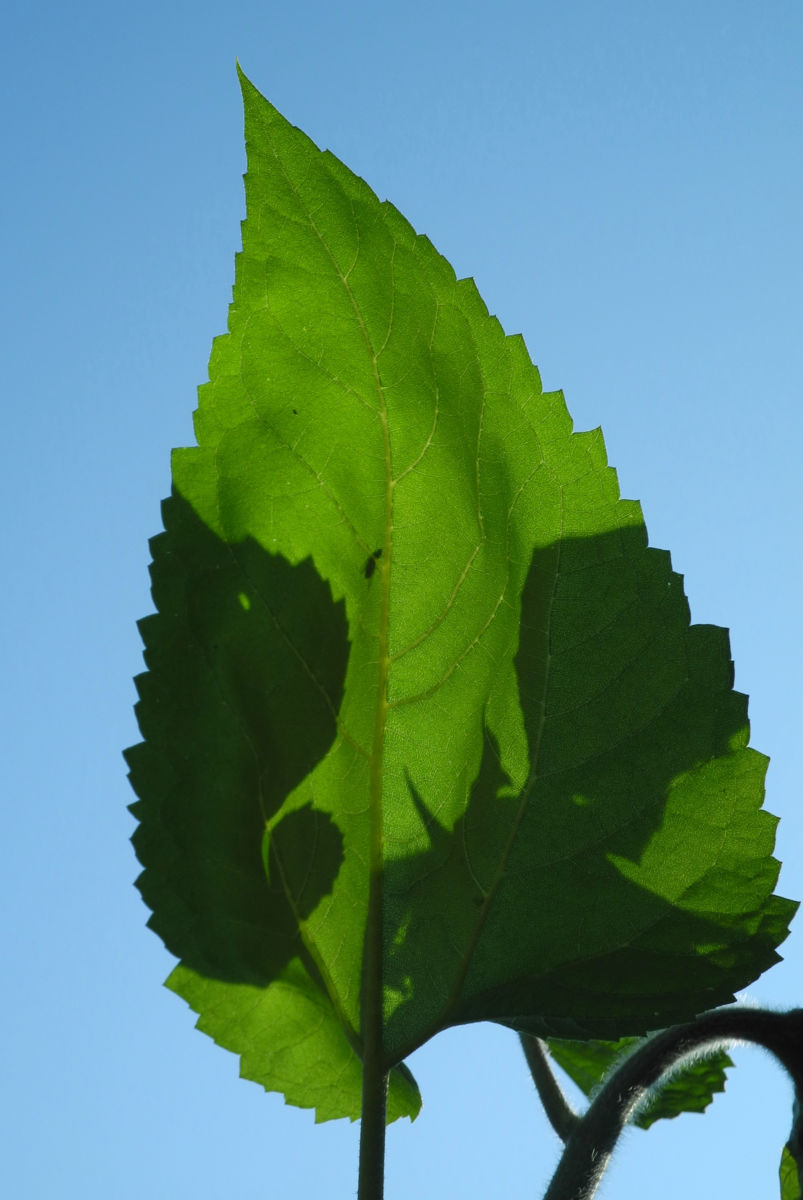 Sonnenblume Blatt gruen Helianthus annuus