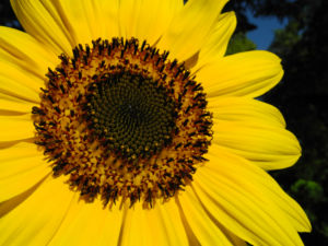 Sonnenblume Bluete gelb Helianthus annuus 13