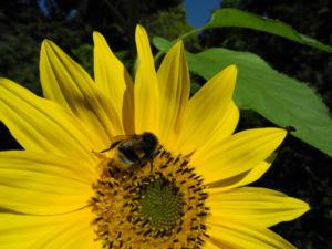 Sonnenblume Bluete gelb Helianthus annuus 15