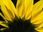 Bild: Sonnenblume Helianthus annuus