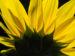 Zurück zum kompletten Bilderset Sonnenblume Helianthus annuus
