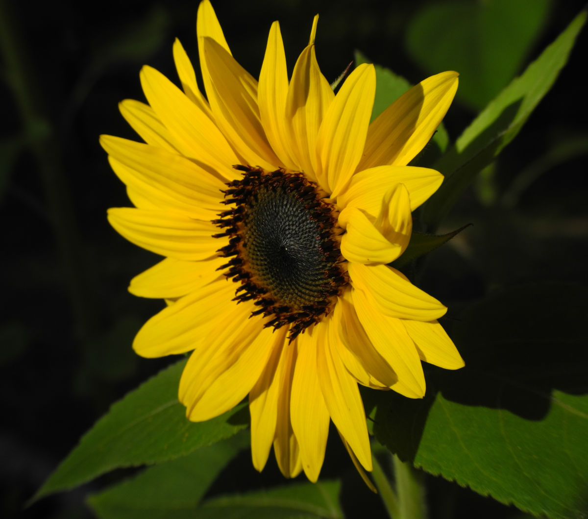 Sonnenblume Bluete gelb Helianthus annuus
