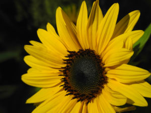Sonnenblume Bluete gelb Helianthus annuus 32