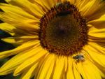 Sonnenblume Bluete gelb Helianthus annuus 36