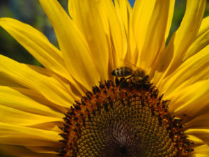 Sonnenblume Bluete gelb Helianthus annuus 37