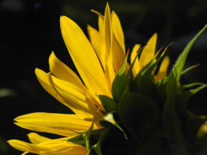 Sonnenblume Bluete gelb Helianthus annuus 39