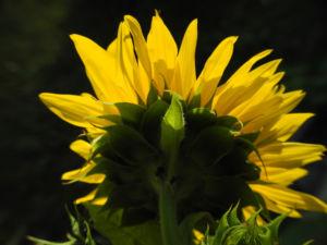 Sonnenblume Bluete gelb Helianthus annuus 42