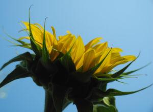 Sonnenblume Bluete gelb Helianthus annuus 45