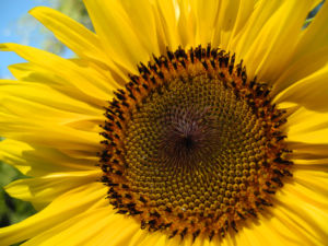 Sonnenblume Bluete gelb Helianthus annuus 50