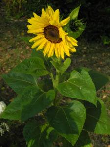 Sonnenblume Bluete gelb Helianthus annuus 53
