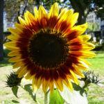 Sonnenblume Bluete satt Helianthus annuus 01