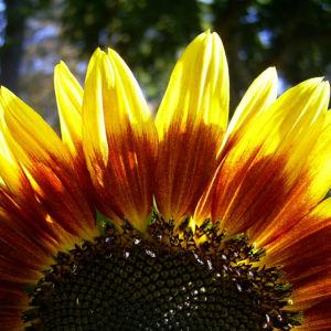 Sonnenblume Bluete satt Helianthus annuus 02