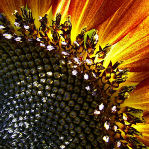 Sonnenblume Bluete satt Helianthus annuus 03