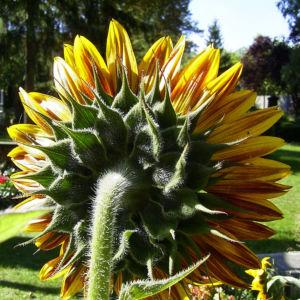 Bild: Sonnenblume Bluete satt Helianthus annuus