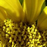 Sonnenblume hell gelb Helianthus anuus 01