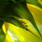 Sonnenblume hell gelb Helianthus anuus 04
