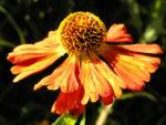 Sonnenbraut Septemberfuchs Bluete rot orange braun Helenium hybride 01