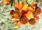 Sonnenbraut Septemberfuchs Bluete rot orange braun Helenium hybride 05