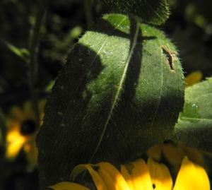 Sonnenhut Blatt gruen Rudbeckia hybride 01