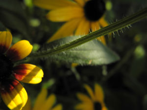 Sonnenhut Blatt gruen Rudbeckia hybride 02