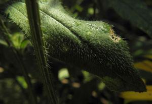 Sonnenhut Blatt gruen Rudbeckia hybride 03