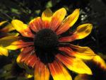 Sonnenhut Bluete gelb braun Rudbeckia hybride 03