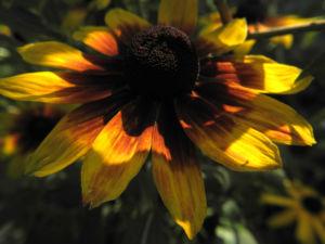 Sonnenhut Bluete gelb braun Rudbeckia hybride 06