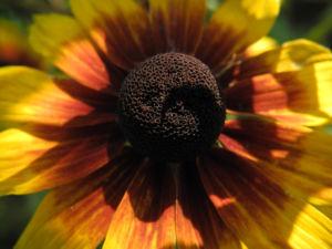 Sonnenhut Bluete gelb braun Rudbeckia hybride 07