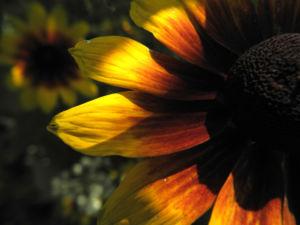 Sonnenhut Bluete gelb braun Rudbeckia hybride 08