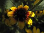 Bild: Sonnenhut Blüte gelb braun Rudbeckia hybride