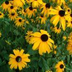 Bild: Gewöhnlicher Sonnenhut Blüte gelb Rudbeckia fulgida