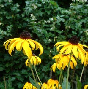 Sonnenhut Rudbeckia fulgida 02