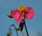 Sonnenroeschen Bluete rosa Helianthemum lavendulaefolium 08