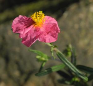 Sonnenroeschen Bluete rosa Helianthemum lavendulaefolium 09
