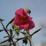 Sonnenroeschen Bluete rosa Helianthemum lavendulaefolium 10