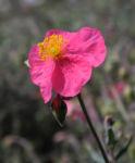 Sonnenroeschen Bluete rosa Helianthemum lavendulaefolium 11